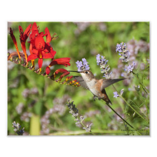 8X10 Hummingbird Lovers Delight Photo Print