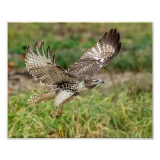 8x10 Immature Red Tailed Hawk Photo Print
