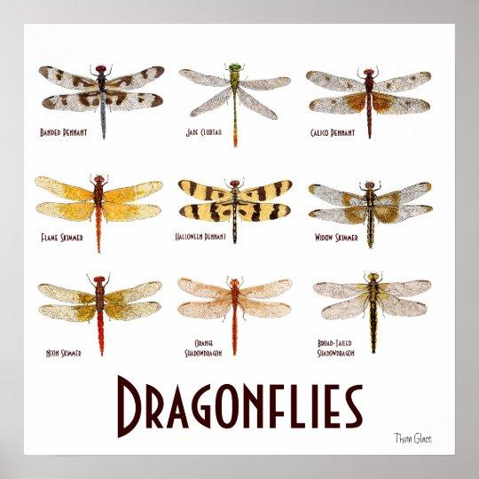 9 Dragonfly Species Poster Zazzle Com