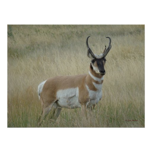 A0008 Pronghorn Antelope Posters