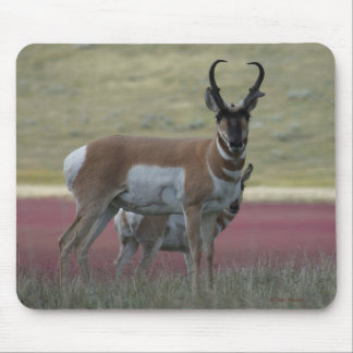 A0024 Pronghorn Antelope mouse pad