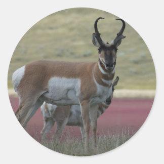 A0024 Pronghorn Antelope sticker