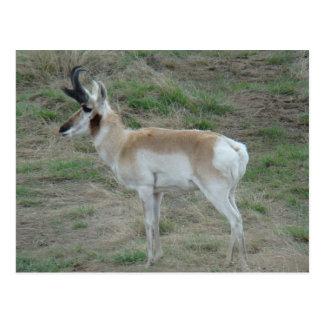 A0026 Pronghorn Antelope postcard