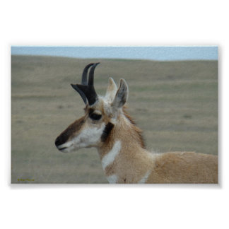 A0029 Pronghorn Antelope poster