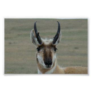 A0030 Pronghorn Antelope poster
