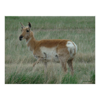 A0031 Pronghorn Antelope Poster