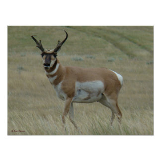 A0033 Pronghorn Antelope Poster