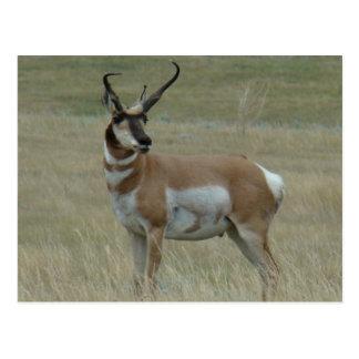 A0037 Pronghorn Antelope Postcard