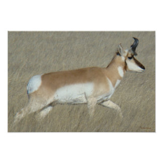 A0044 Pronghorn Antelope Buck Poster