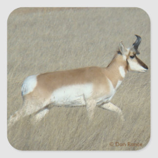 A0044 Pronghorn Antelope Buck Square Sticker
