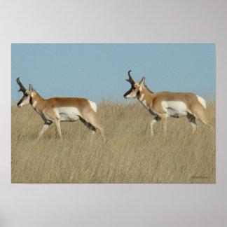 A0045 Pronghorn Antelope Bucks Poster