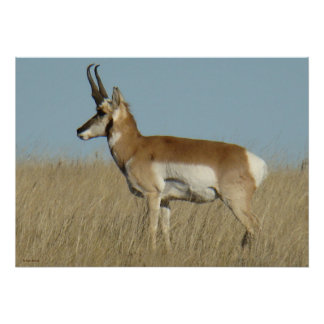 A0046 Pronghorn Antelope Poster