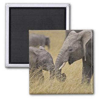 A African Elephant grazing in the fields of the Magnet