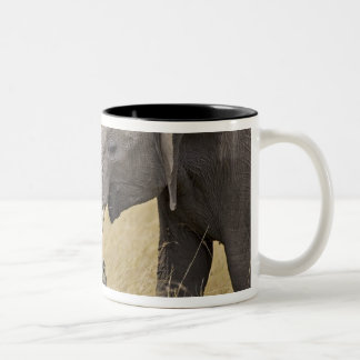 A African Elephant grazing in the fields of the Mugs