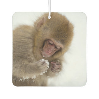 A baby Japanese Macaque (or snow monkey)
