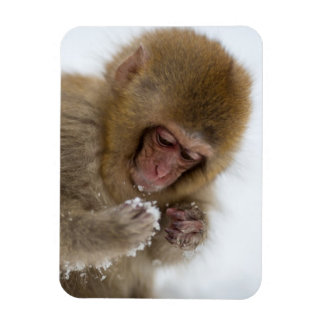A baby Japanese Macaque (or snow monkey) Magnet