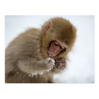A baby Japanese Macaque (or snow monkey) Postcard