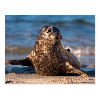 A baby seal coming ashore in Children's Pool Postcard