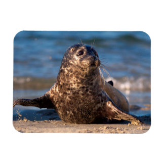 A baby seal coming ashore in Children's Pool Rectangular Photo Magnet