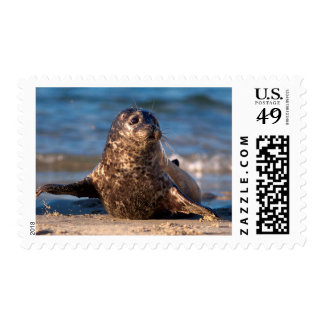 A baby seal coming ashore in Children's Pool Stamp