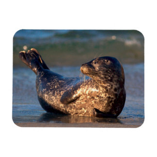 A baby seal lifting it's tail rectangular photo magnet
