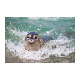 A baby seal surfing canvas prints
