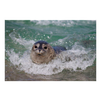 A baby seal surfing poster
