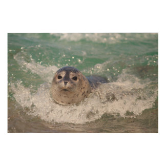 A baby seal surfing wood canvas