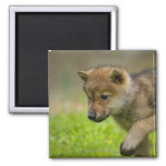 A baby wolf 2 inch square magnet