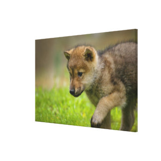 A baby wolf canvas prints