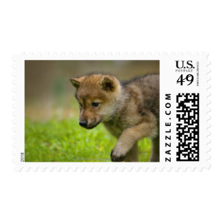 A baby wolf postage