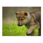 A baby wolf postcard