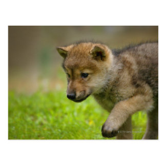 A baby wolf postcard