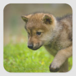 A baby wolf square sticker