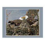 A Bald Eagle Family Portrait Post Card