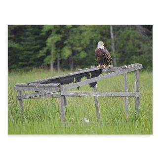A Bald Eagle perched atop a duck blind Postcard