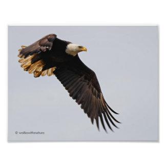 A Bald Eagle Takes to the Sky Photo Print