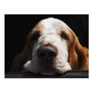 A Basset Hound resting his head Postcard