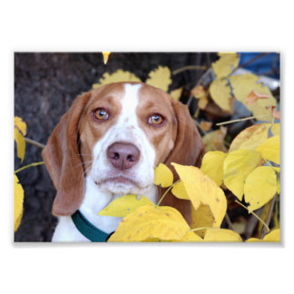 A beagle in the fall leaves photo print