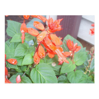 A beautiful orange Salvia bloom Postcard