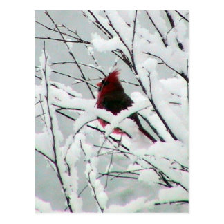 A Beautiful Red Cardinal In The Bushes Covered Wit Post Card