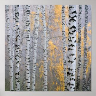 a birch grove in the haze fragment trunks. poster