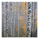 a birch grove in the haze fragment trunks. print