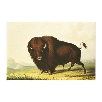 A Bison, c.1832 Canvas Print