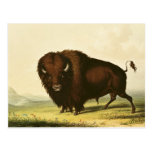 A Bison, c.1832 Post Card