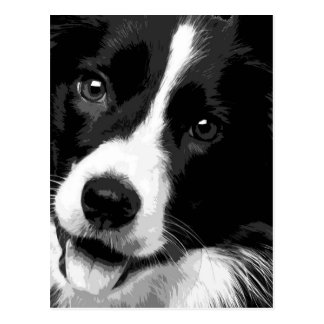 A black and white Border collie Postcard