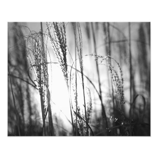 A black and white photo of tall grass at sunset