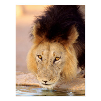 A Black Maned Lion at a waterhole Postcard