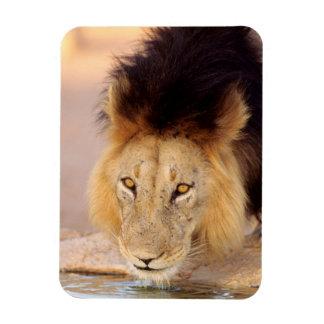 A Black Maned Lion at a waterhole Rectangular Photo Magnet