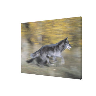 A black wolf on the run canvas print